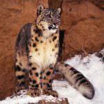 wild-cats12