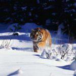 wild-cats2